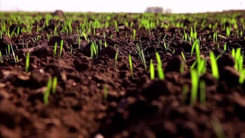 Оптимальные условия для роста злака: при какой температуре прорастает пшеница в домашних условиях и открытом грунте