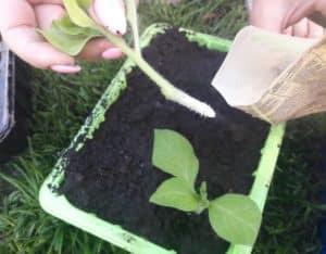 Руководство по проведению черенкования петунии летом для начинающих цветоводов