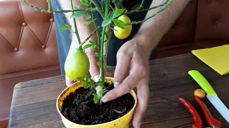Почему лимон, выращиваемый в домашних условиях, не цветет и что делать, чтобы это исправить