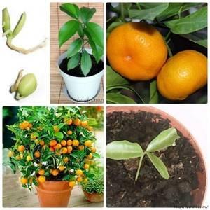 Правила размножения мандарина черенками в домашних условиях