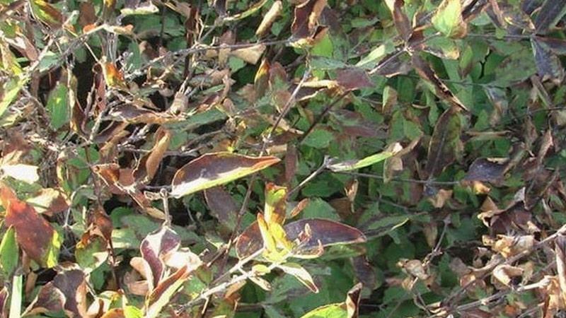 Что делать, если появилась ржавчина на листьях жимолости и чем её обработать