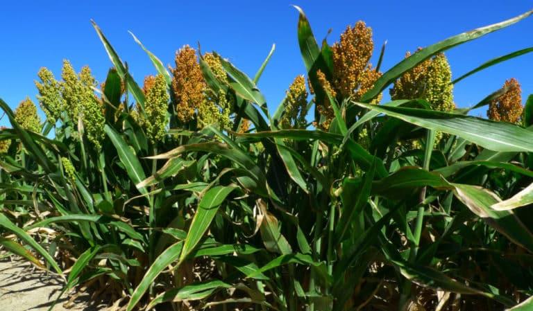 Что такое сахарное сорго, как его выращивают и куда применяют