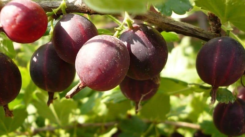 Самые популярные и урожайные сорта крыжовника