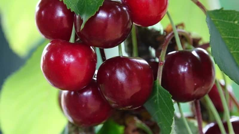 Самые урожайные и вкусные сорта вишни