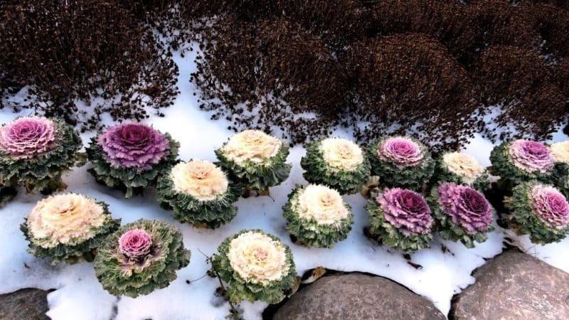 Съедобна ли декоративная капуста