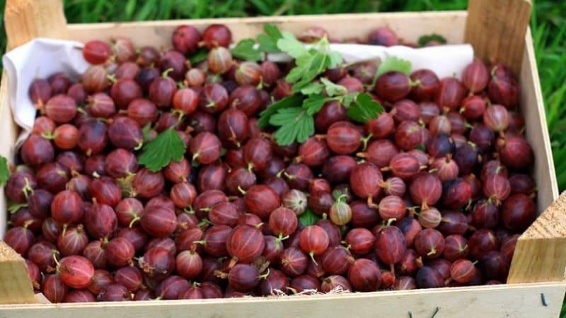 Сладкий сорт крыжовника с темно-красными ягодами Хиннонмаки Ред