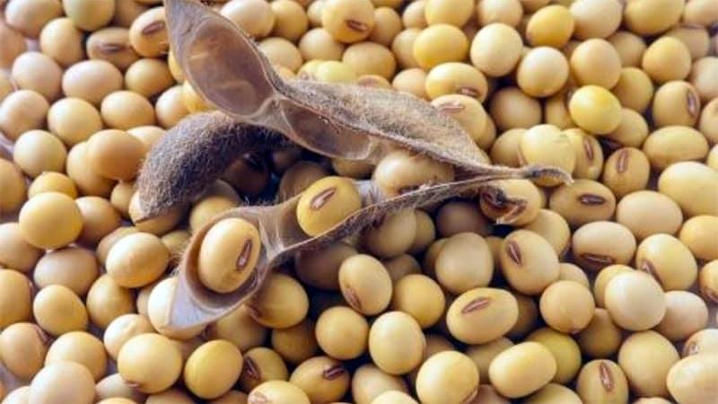 Соевые бобы - что это такое и как выглядят