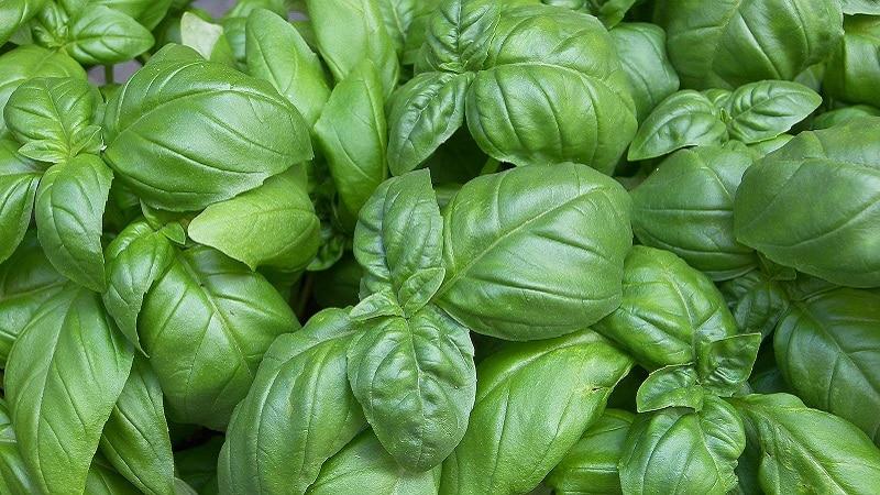 """Сорт базилика """"Зеленый ароматный"""": выращивание из семян, характеристики и описание"""