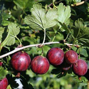 Среднеранний высокоурожайный сорт крыжовника Колобок