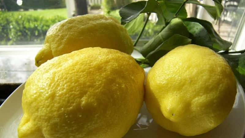 Чем хорош сорт лимона Пандероза и почему его стоит выращивать