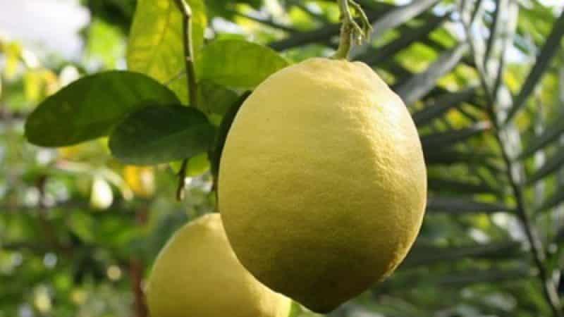 Неприхотливый в уходе сорт лимона Юбилейный для начинающих цветоводов