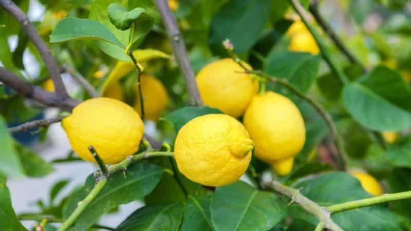 Как лечить болезни домашнего лимона