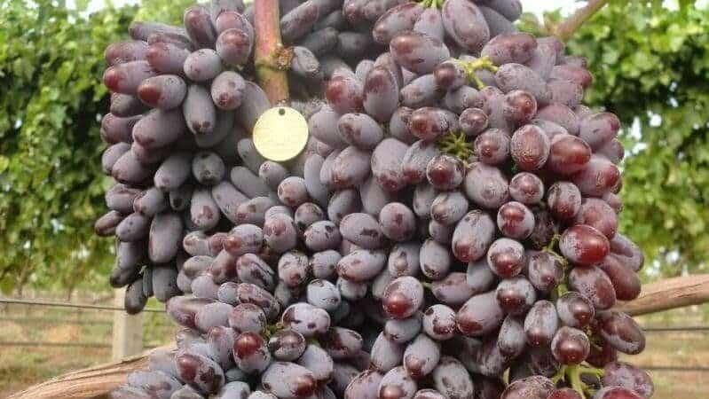 Описание сортов винограда для Краснодара