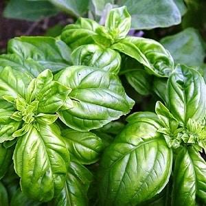 """Сорт зеленого овощного базилика """"Тонус"""": выращивание из семян для начинающих"""