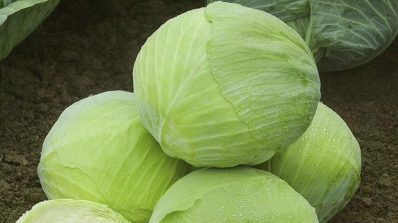 Особенности посадки и выращивания гибрида капусты Ринда f1