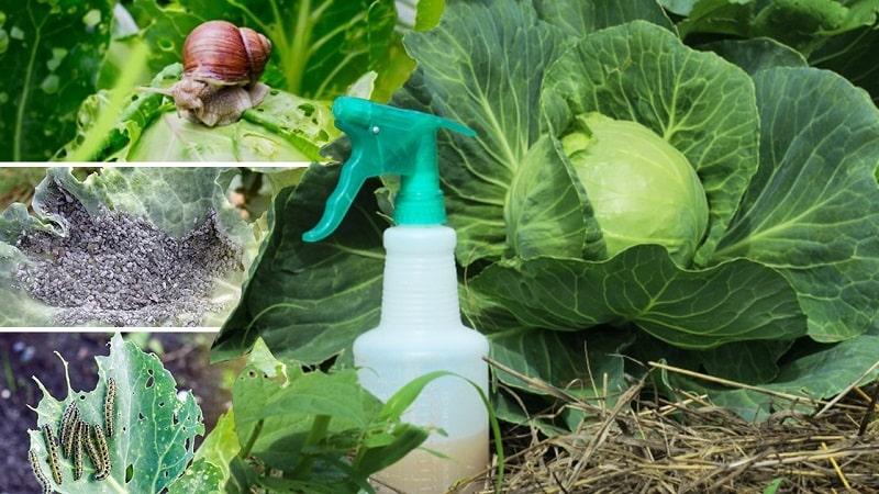 Высокоурожайный неприхотливый гибрид капусты Килатон f1