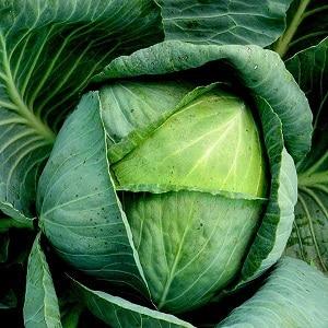 Среднепоздний высокоурожайный гибрид капусты Коля f1