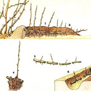 """Среднеранний сорт крыжовника с высокой зимостойкостью """"Хиннонмаки Грин"""""""