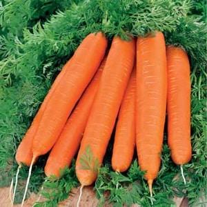 Среднеспелый сорт моркови Лосиноостровская