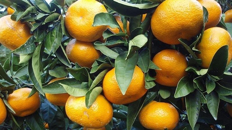 Причины, почему у мандарина опадают листья, и методы спасения растения