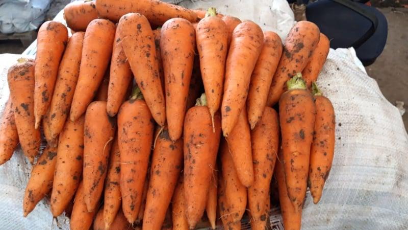 Какова урожайность моркови с 1 га, от чего она зависит и как её повысить