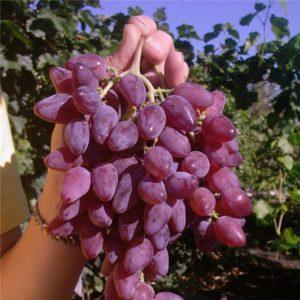 Морозостойкий высокоурожайный гибрид винограда {amp}quot;Аметистовый{amp}quot;