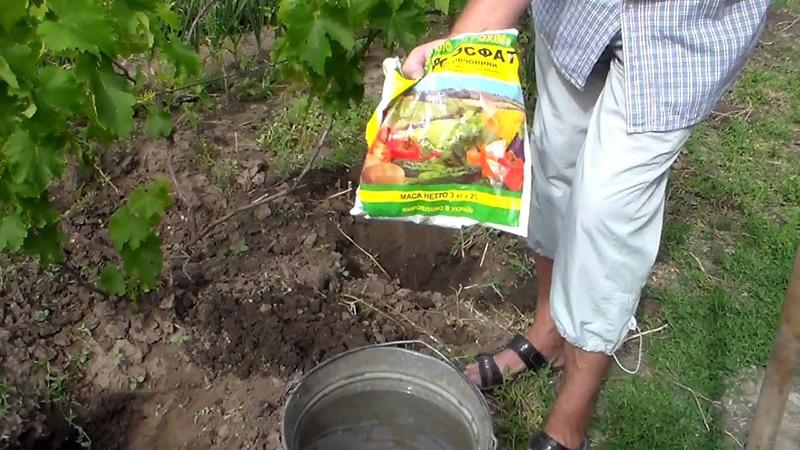 Гибрид винограда Красная роза - особенности ухода и выращивания
