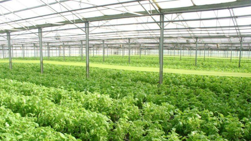 """Ароматный сорт базилика """"Василиск"""" для маринадов и свежих салатов"""