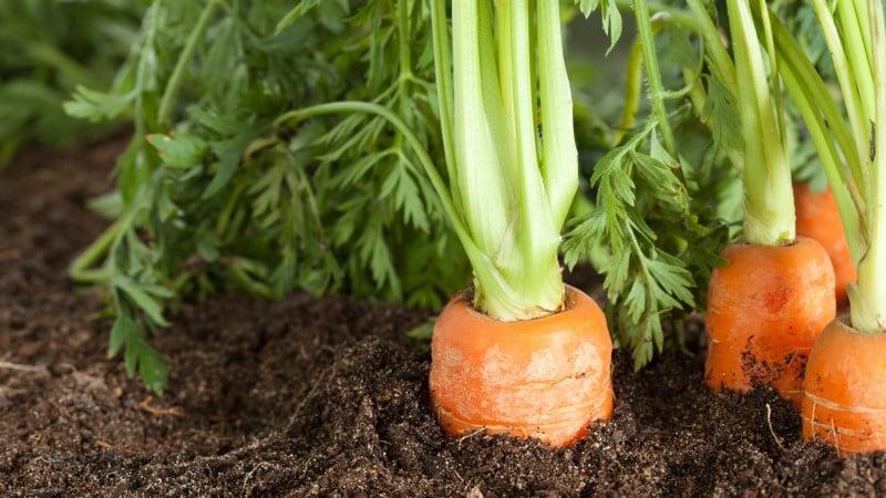 Неприхотливый и устойчивый к заболеваниям сорт моркови Берликум Роял