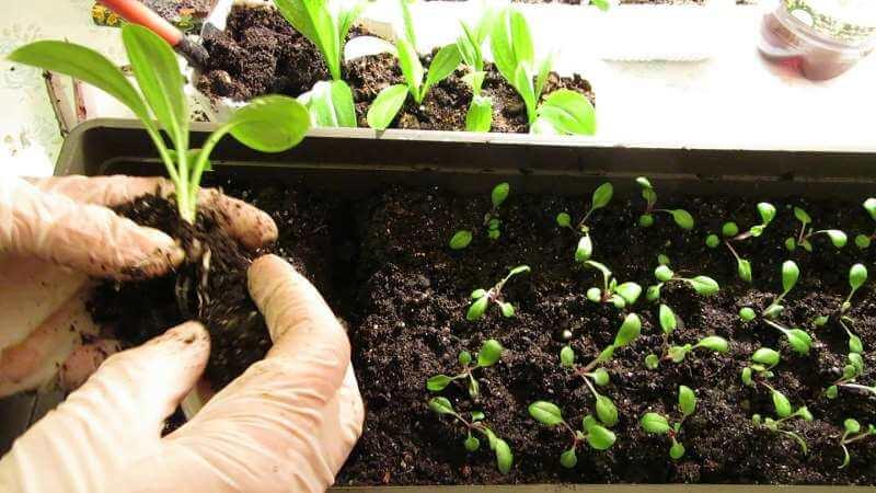 Выращивание петуньи в домашних условиях и открытом грунте: необходимые условия, посадка, уход