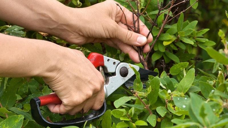 Весенняя обработка жимолости от вредителей и заболеваний
