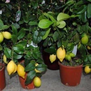 Инструкция по уходу за Павловским лимоном в домашних условиях