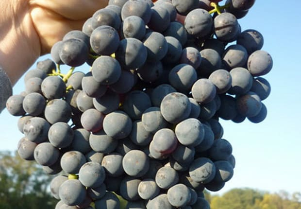 Из каких французских и кубанских сортов винограда делают коньяк