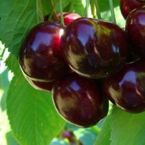 Устойчивая и урожайная черешня Валерий Чкалов: описание сорта и особенности его выращивания