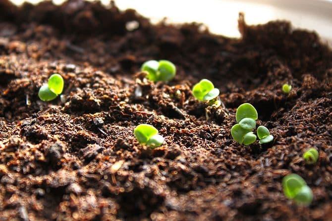 Через сколько дней после посева всходит базилик и какими должны быть ростки