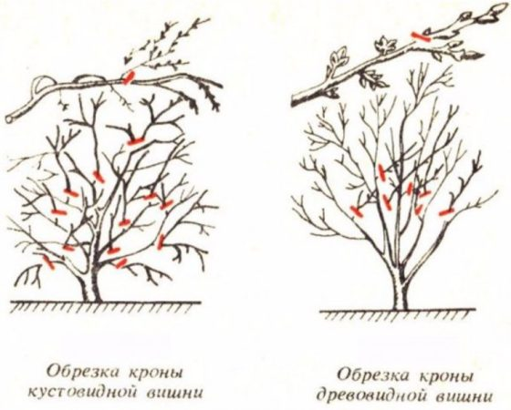 Гибрид вишни с черешней Чудо-вишня