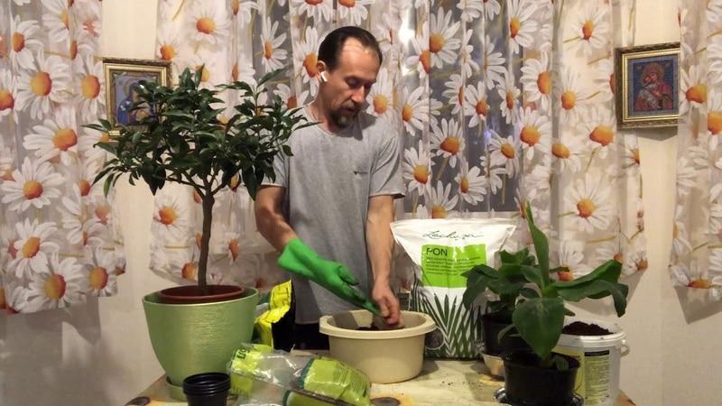 Как правильно пересадить лимон в домашних условиях