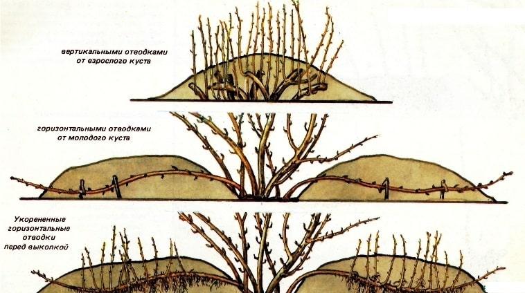 Как размножается крыжовник - все способы