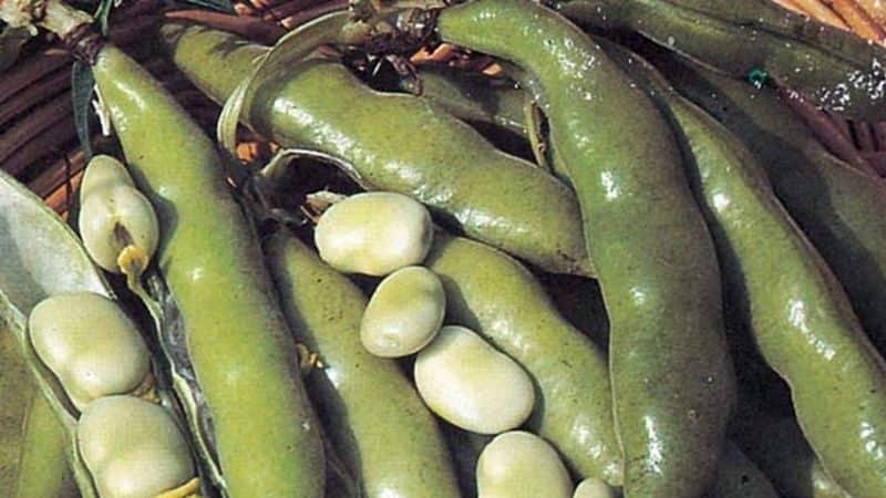 Как выращивать бобы в открытом грунте