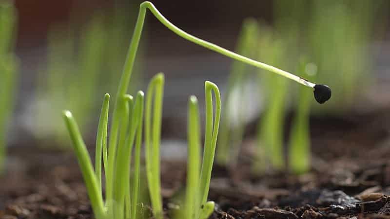 """Как выращивать лук """"Чернушка"""" из семян"""