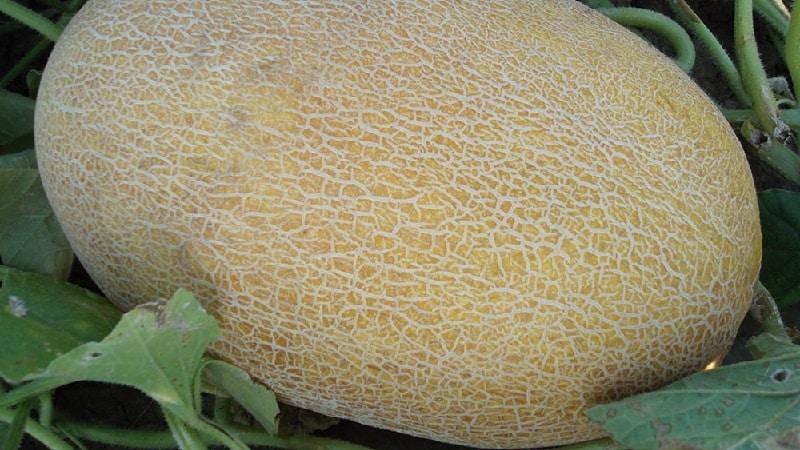 Какие бывают виды и сорта дынь