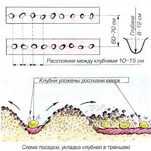 Какое расстояние делать между рядами при посадке картофеля