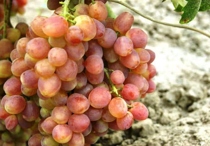 Гибрид винограда Кеша - описание и характеристики