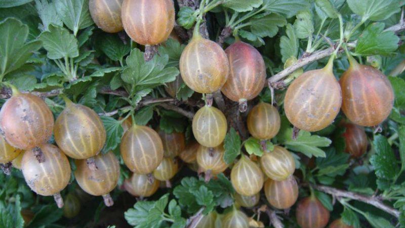 Высокоурожайный, устойчивый к холодам сорт крыжовника Олави (Хиннонмаен Пунайнен)