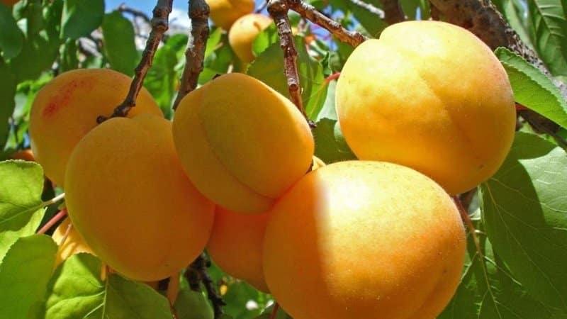 Лучшие сорта абрикосов для средней полосы России