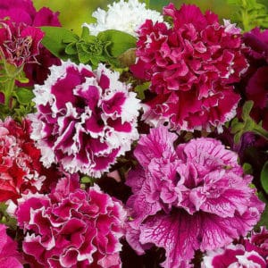 Описание сортов и особенности выращивания махровой петунии