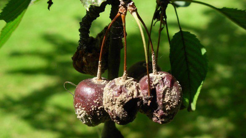 """Высокоурожайный раннеспелый сорт вишни """"Малышка"""""""