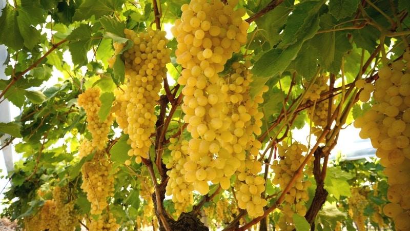 Обзор лучших белых сортов винограда