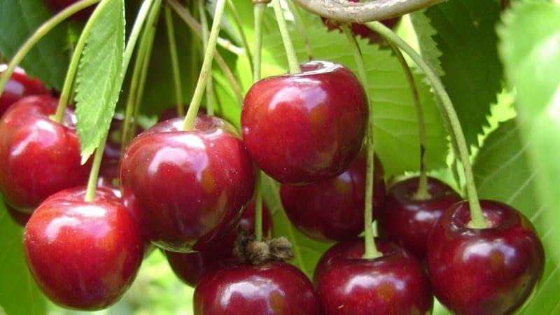 Описание самоплодных сортов вишни для средней полосы и Самарской области