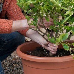 Пошаговое руководство по пересадке мандаринового дерева в домашних условиях